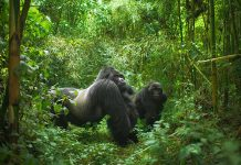Gorilla Safaris in Congo