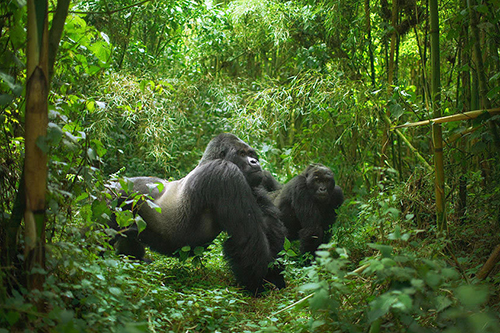 Lowland Gorilla Safaris in Congo