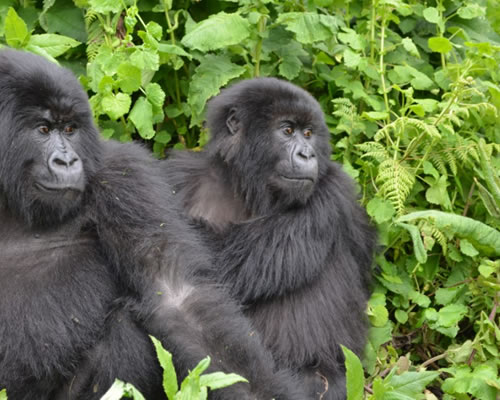 Gorillas in DR Congo